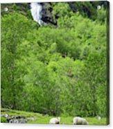 Sheep In A Grassy Mountain Field Acrylic Print
