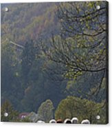 Sheep In A Line Acrylic Print