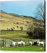 Sheep In Meadow Acrylic Print