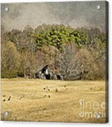 Sheep In The South Acrylic Print by Jai Johnson