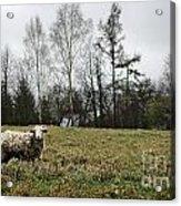 Sheep In Village Field Acrylic Print