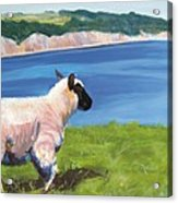 Sheep Acrylic Print