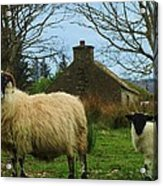 Sheep Of Donegal Ireland Acrylic Print