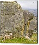 Sheep On A Mountain Pasture Between Granite Rocks Acrylic Print