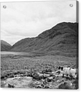 sheep on rough ground Doulough County Mayo Acrylic Print