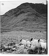 sheep on rough ground Doulough Acrylic Print