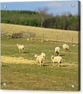 Sheep Out And About Acrylic Print
