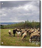 Sheep Pasturing Acrylic Print