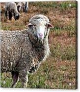 Sheep Portrait Acrylic Print