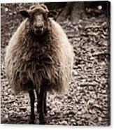 Sheep Stare Acrylic Print