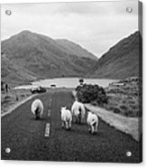 sheep walking away from camera down the middle of the road Doulough mayo ireland Acrylic Print