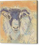 Sheep With Horns Acrylic Print