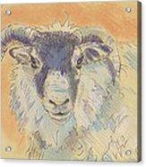 Sheep With Horns Acrylic Print
