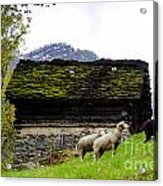Sheeps And Rustic House Acrylic Print