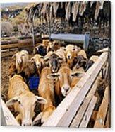 Sheeps Enclosure Acrylic Print