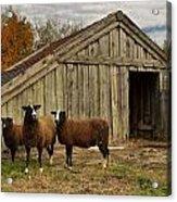 Sheeps  Acrylic Print