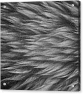 Sheepskin Acrylic Print