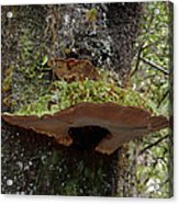 Shelf Mushroom With Moss Acrylic Print