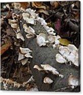 Shelf Mushrooms In Autumn Acrylic Print