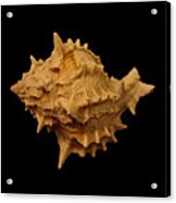 Shells Of The Gulf Coast 4 Acrylic Print
