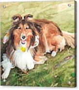 Sheltie On Lawn Watercolor Portrait Acrylic Print