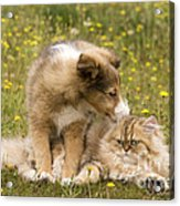 Sheltie Puppy And Persian Cat Acrylic Print