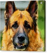 Shep  - German Shepherd Acrylic Print