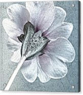 Sheradised Primula Acrylic Print
