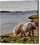 Shetland Pony At Shore  Shetland Acrylic Print