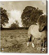 Shetland Pony  Acrylic Print