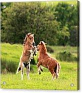 Shetland Pony's Acrylic Print