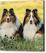 Shetland Sheepdogs Acrylic Print