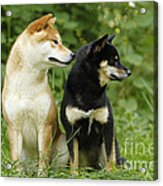 Shiba Inu Dogs Acrylic Print