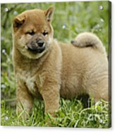 Shiba Inu Puppy Dog Acrylic Print