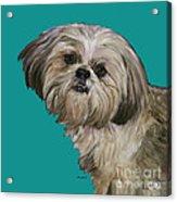Shih Tzu On Turquoise Acrylic Print
