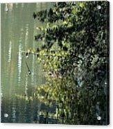 Shimmering Pine Acrylic Print