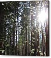 Shimmering Pines Acrylic Print