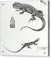Shingled Iguana Acrylic Print