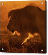 Shiny King Acrylic Print