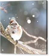 Shiny Tree Sparrow Acrylic Print