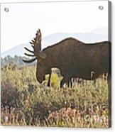 Shiras Bull Moose Acrylic Print