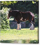 Shire Horse  Acrylic Print by Stephen Norris