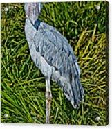 Shoebill Stork Acrylic Print