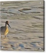 Shore Bird 7 12/5 Acrylic Print