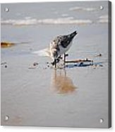 Shore Bird Acrylic Print