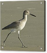 Shore Bird. Acrylic Print