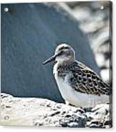Shorebird Acrylic Print