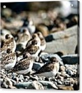 Shorebird Rest Time Acrylic Print