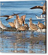 Shorebirds Flocking At Bodega Bay Acrylic Print