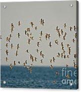 Shorebirds Flying Acrylic Print
